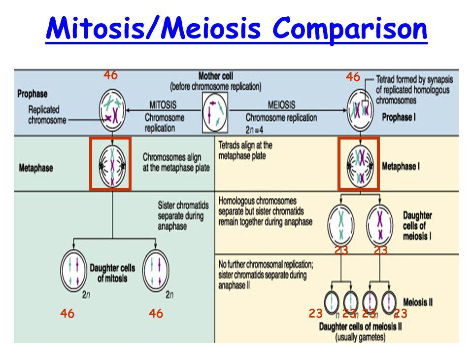 Mitosis/Meiosis Comparison 46 23