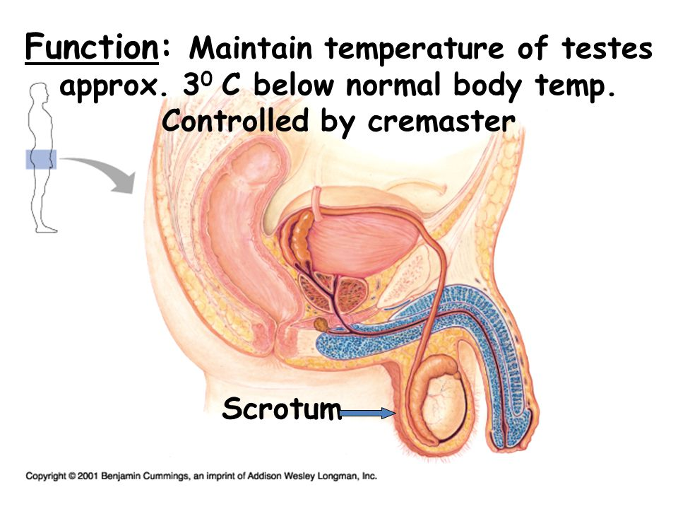 Function: Maintain temperature of testes approx. 3 0 C below normal body temp. Controlled by cremaster Scrotum