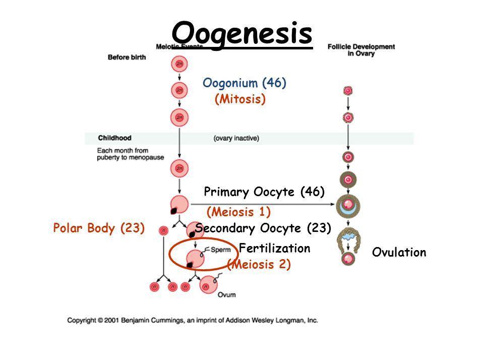 Oogenesis Oogonium (46) (Mitosis) Secondary Oocyte (23) (Meiosis 1) Ovulation Fertilization Polar Body (23) (Meiosis 2) Primary Oocyte (46)