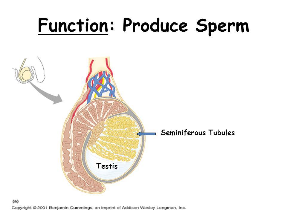 Function: Produce Sperm Testis Seminiferous Tubules