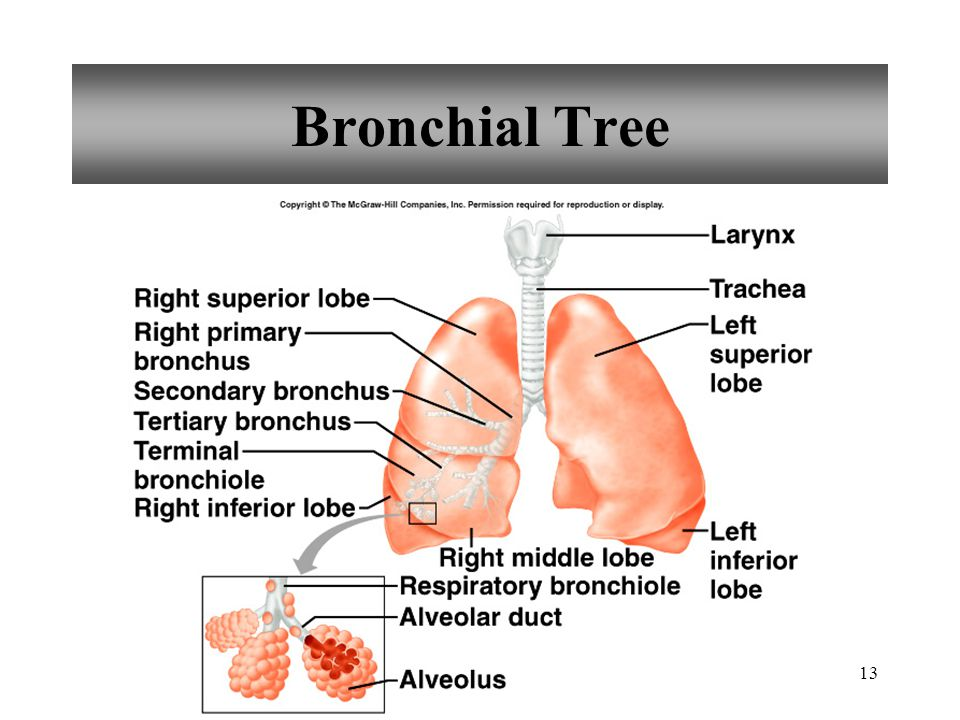 13 Bronchial Tree