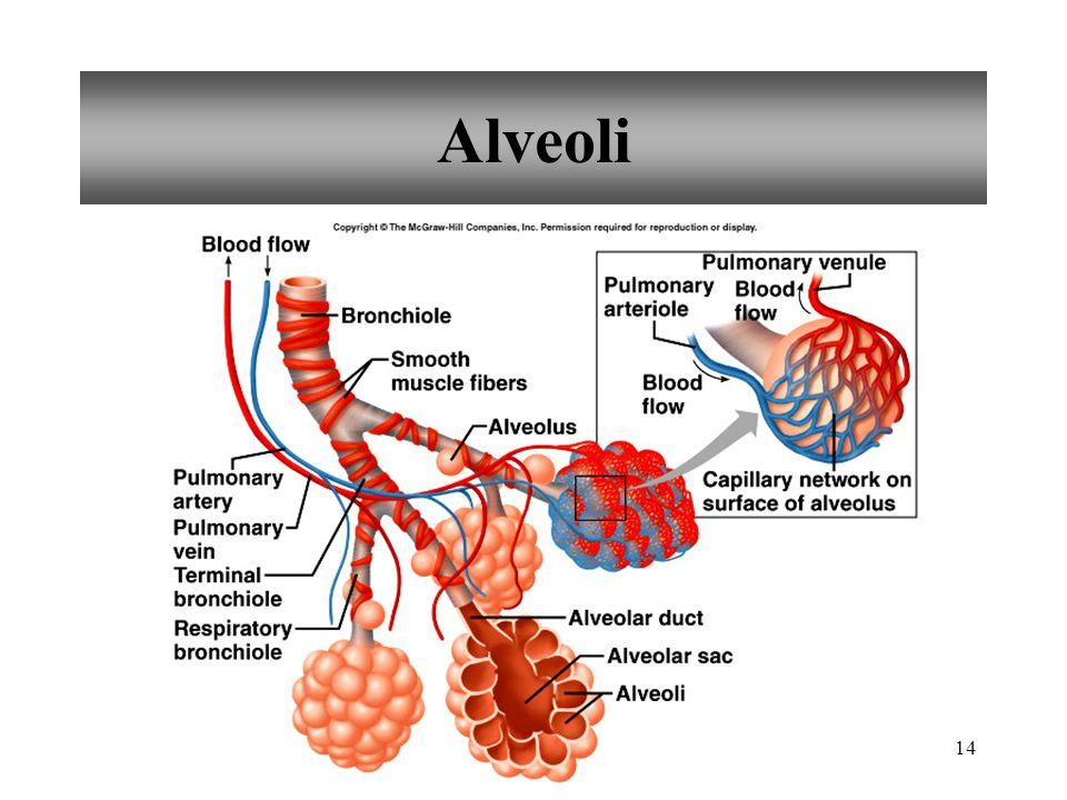 14 Alveoli
