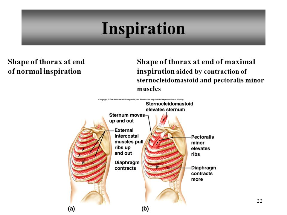 22 Inspiration Shape of thorax at end of normal inspiration Shape of thorax at end of maximal inspiration aided by contraction of sternocleidomastoid and pectoralis minor muscles