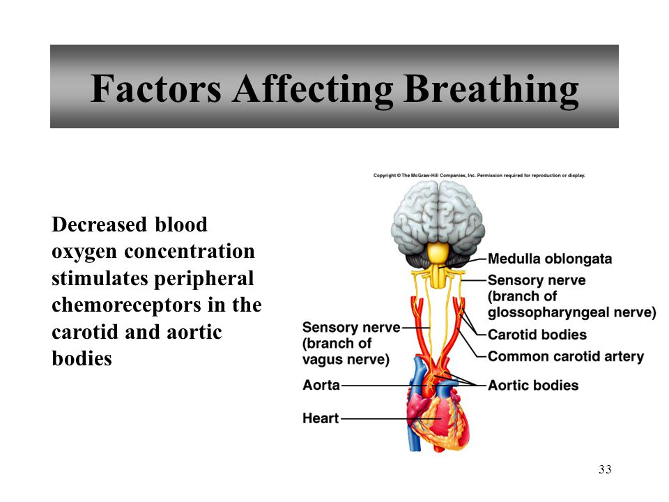 33 Factors Affecting Breathing Decreased blood oxygen concentration stimulates peripheral chemoreceptors in the carotid and aortic bodies