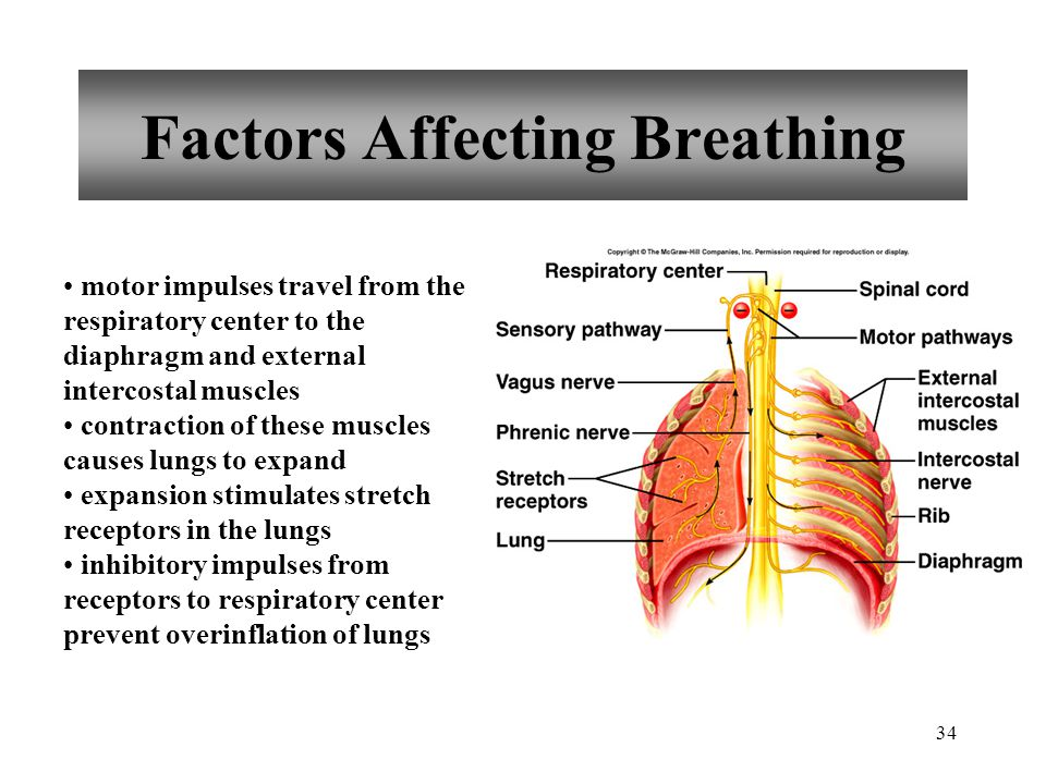 34 Factors Affecting Breathing motor impulses travel from the respiratory center to the diaphragm and external intercostal muscles contraction of these muscles causes lungs to expand expansion stimulates stretch receptors in the lungs inhibitory impulses from receptors to respiratory center prevent overinflation of lungs