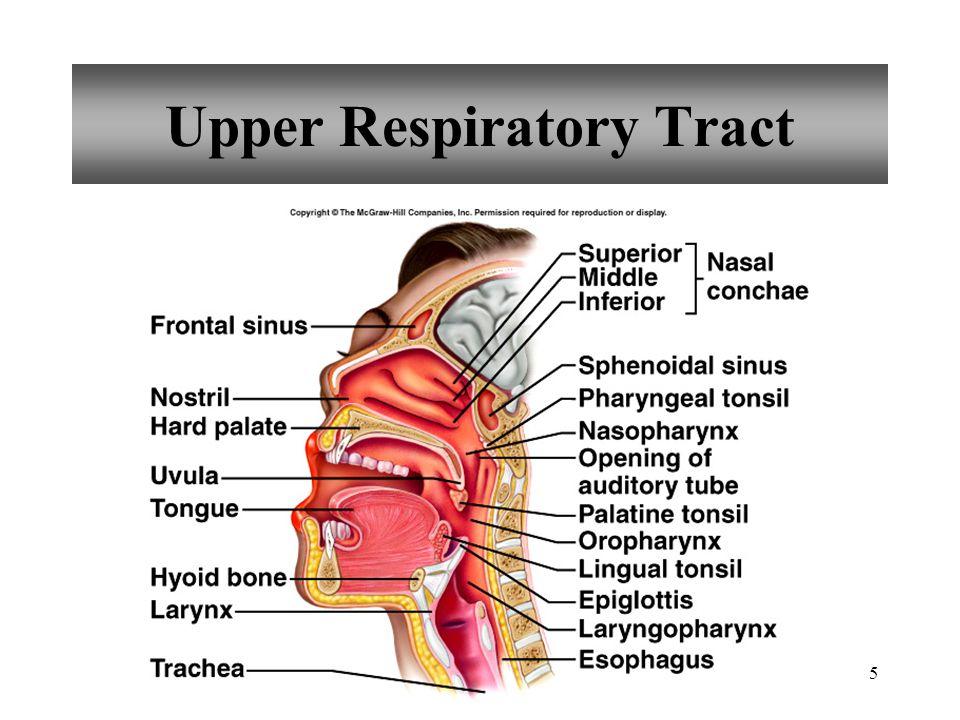 5 Upper Respiratory Tract