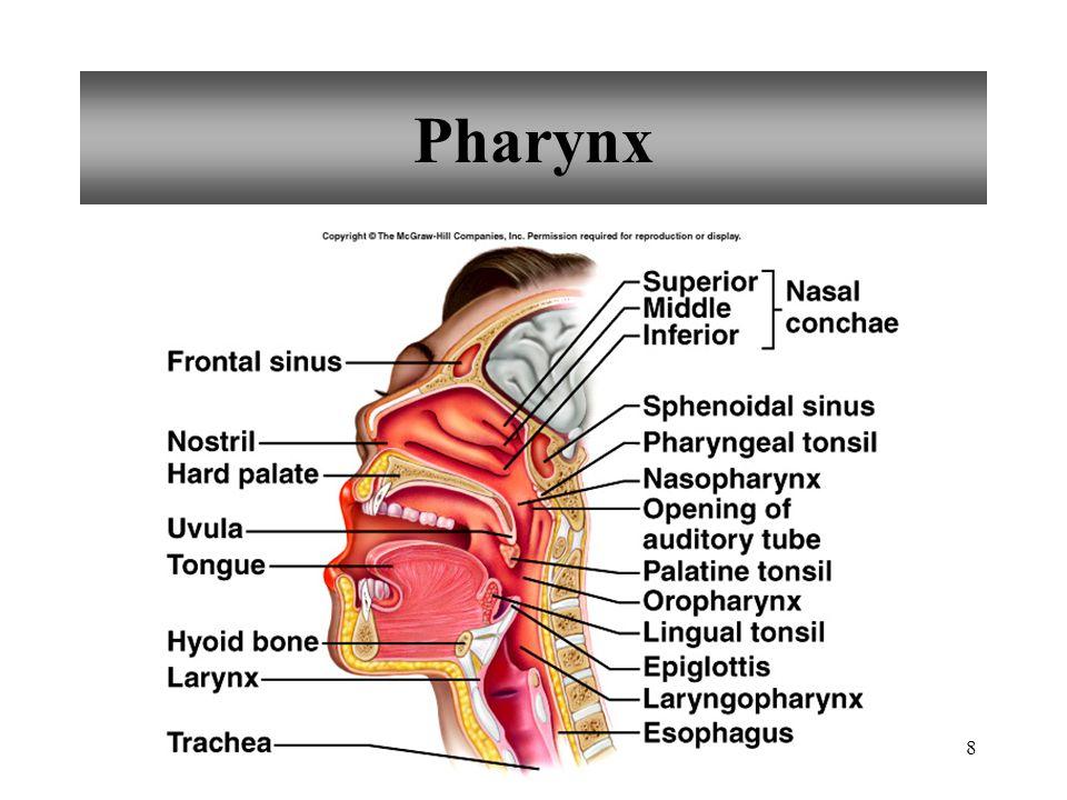 8 Pharynx