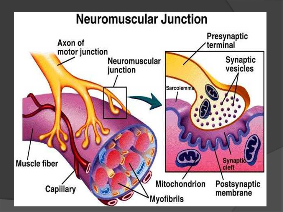 Contraction  The capacity of muscle to shorten and thicken is called contractility.
