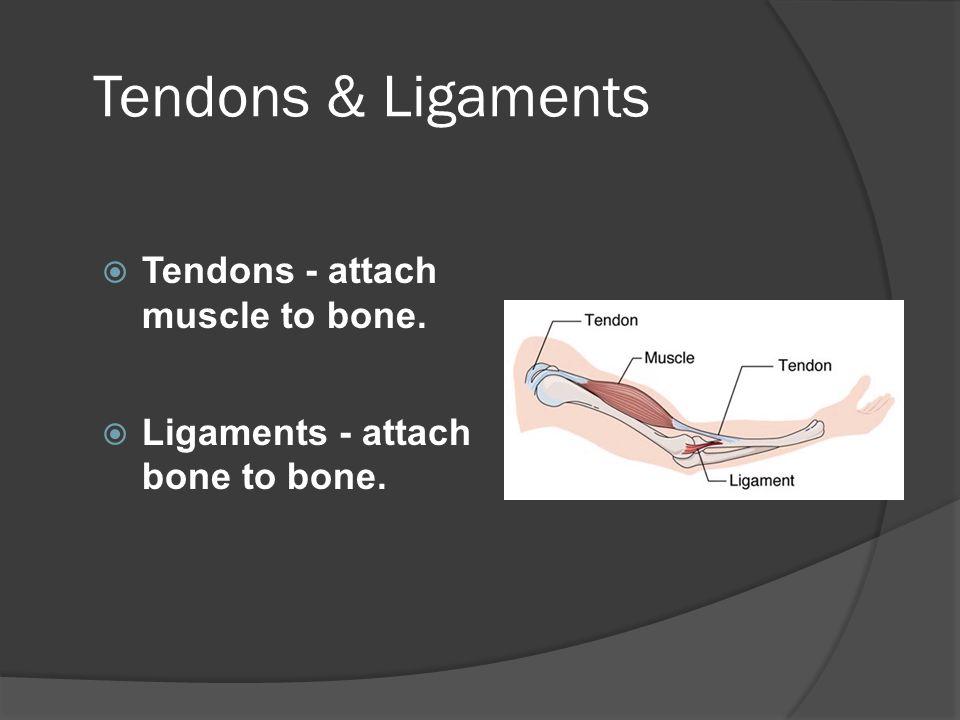 Tendons  Dense fibrous connective tissue.
