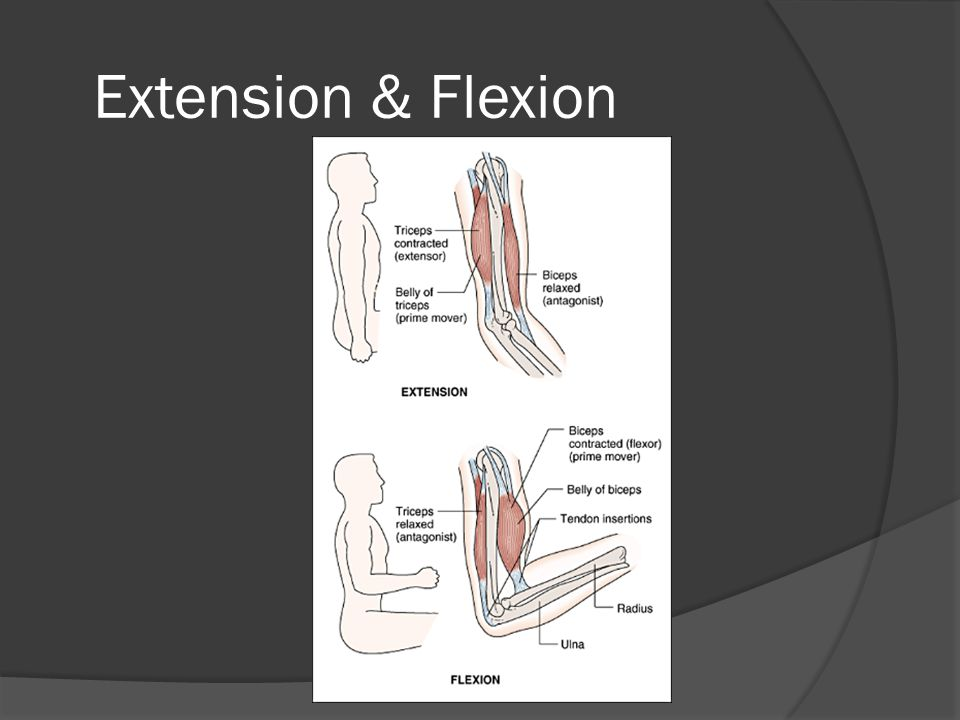Antagonistic muscle pair of the upper arm in action.