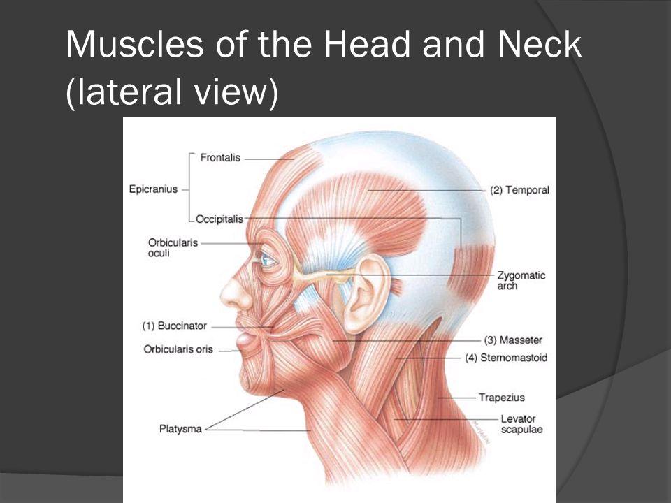 Major Cervical Muscles