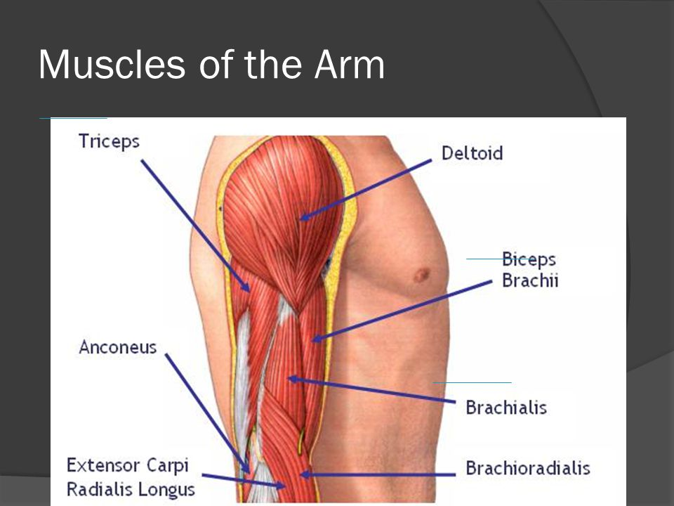 Muscles of the Trunk  Abdomen – Three layers  External oblique (outer most)  Internal oblique  Rectus abdominis  Respiratory muscles  Intercostal muscles (important for respiration)  Diaphragm (separates the thoracic and abdominal cavities)