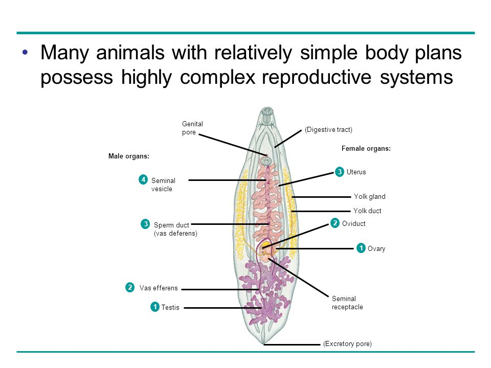 Many animals with relatively simple body plans possess highly complex reproductive systems Male organs: Female organs: Genital pore (Excretory pore) S