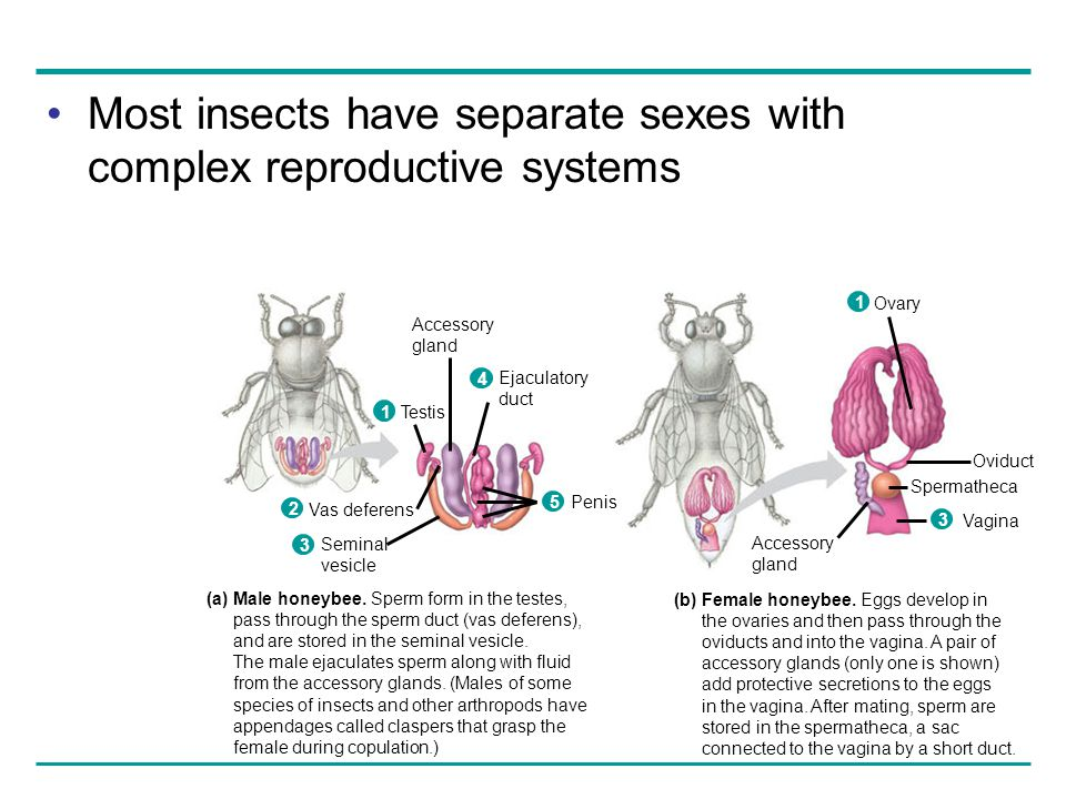 Most insects have separate sexes with complex reproductive systems (a) Male honeybee. Sperm form in the testes, pass through the sperm duct (vas defer