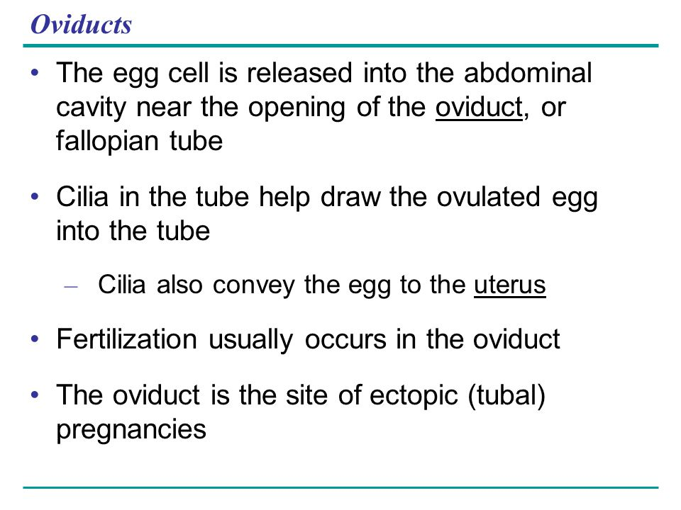 Oviducts The egg cell is released into the abdominal cavity near the opening of the oviduct, or fallopian tube Cilia in the tube help draw the ovulate