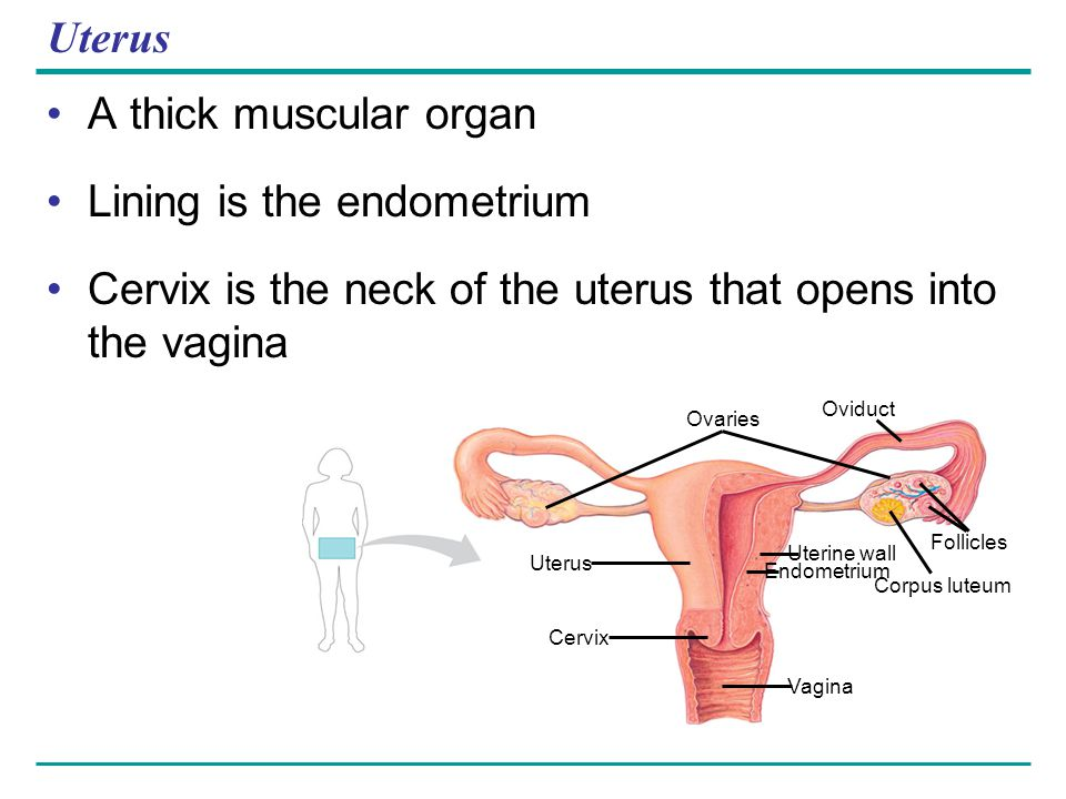 Uterus A thick muscular organ Lining is the endometrium Cervix is the neck of the uterus that opens into the vagina Vagina Uterus Cervix Ovaries Ovidu