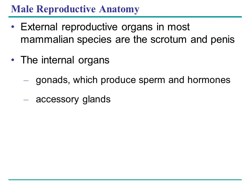 Male Reproductive Anatomy External reproductive organs in most mammalian species are the scrotum and penis The internal organs – gonads, which produce