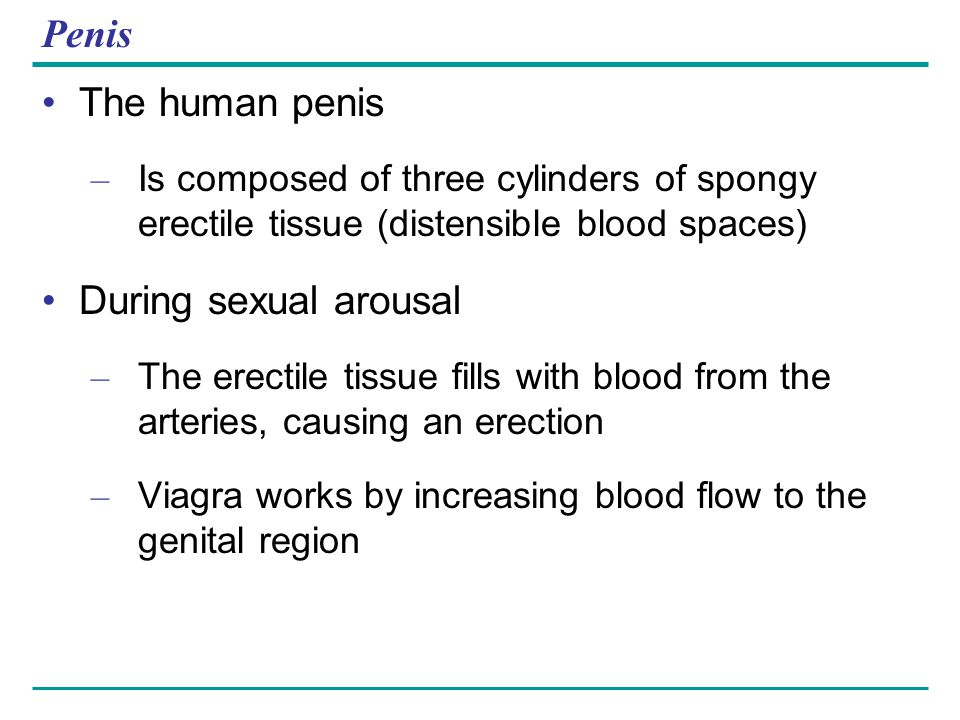 Penis The human penis – Is composed of three cylinders of spongy erectile tissue (distensible blood spaces) During sexual arousal – The erectile tissu