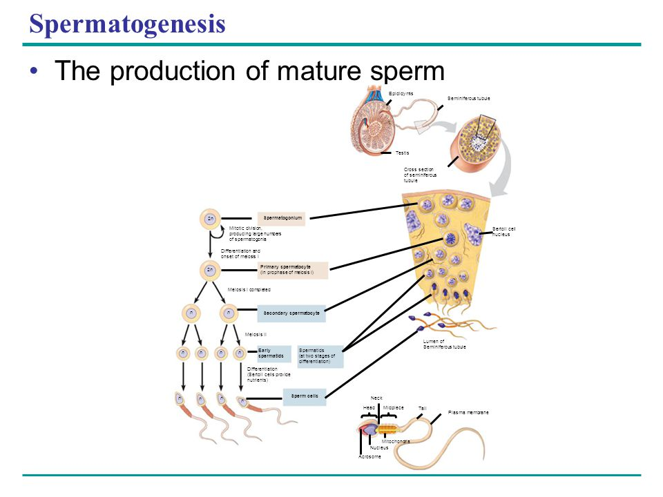 Spermatogenesis The production of mature sperm Epididymis Seminiferous tubule Testis Cross section of seminiferous tubule Sertoli cell nucleus Lumen o