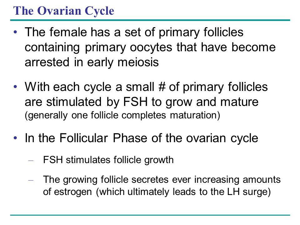 The Ovarian Cycle The female has a set of primary follicles containing primary oocytes that have become arrested in early meiosis With each cycle a sm