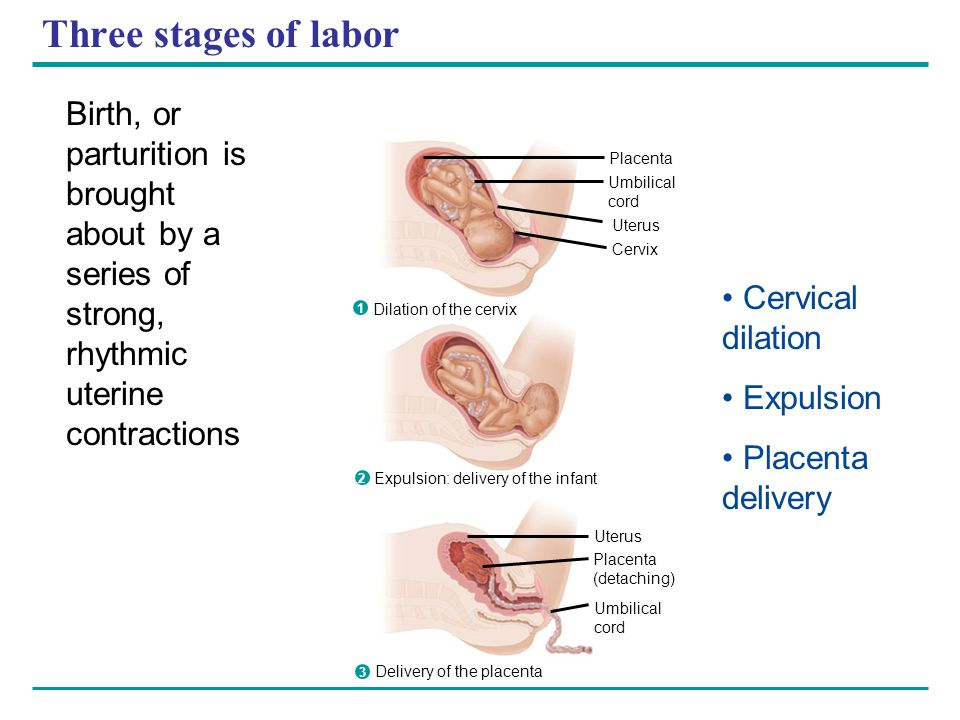 Three stages of labor Placenta Umbilical cord Uterus Cervix Dilation of the cervix Expulsion: delivery of the infant Uterus Placenta (detaching) Umbil
