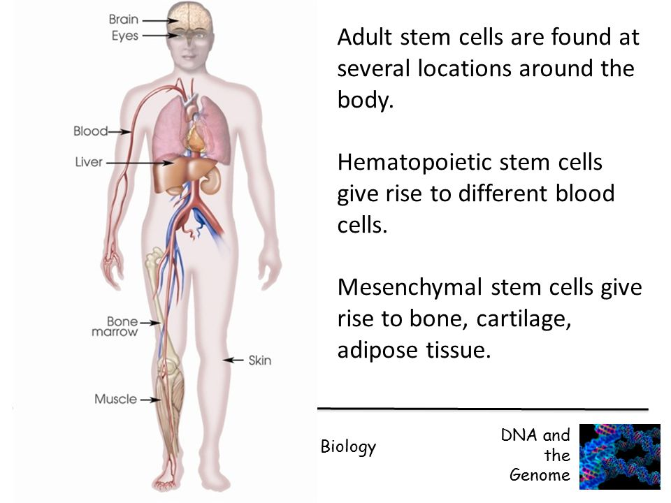 CFE Higher Biology DNA and the Genome Adult stem cells are found at several locations around the body. Hematopoietic stem cells give rise to different