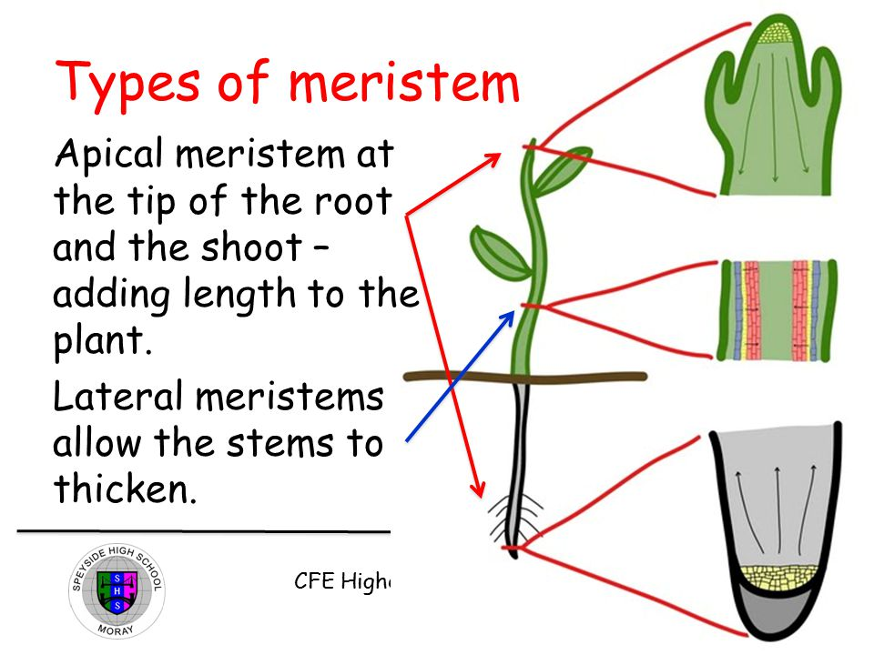 CFE Higher Biology DNA and the Genome Types of meristem Apical meristem at the tip of the root and the shoot – adding length to the plant. Lateral mer