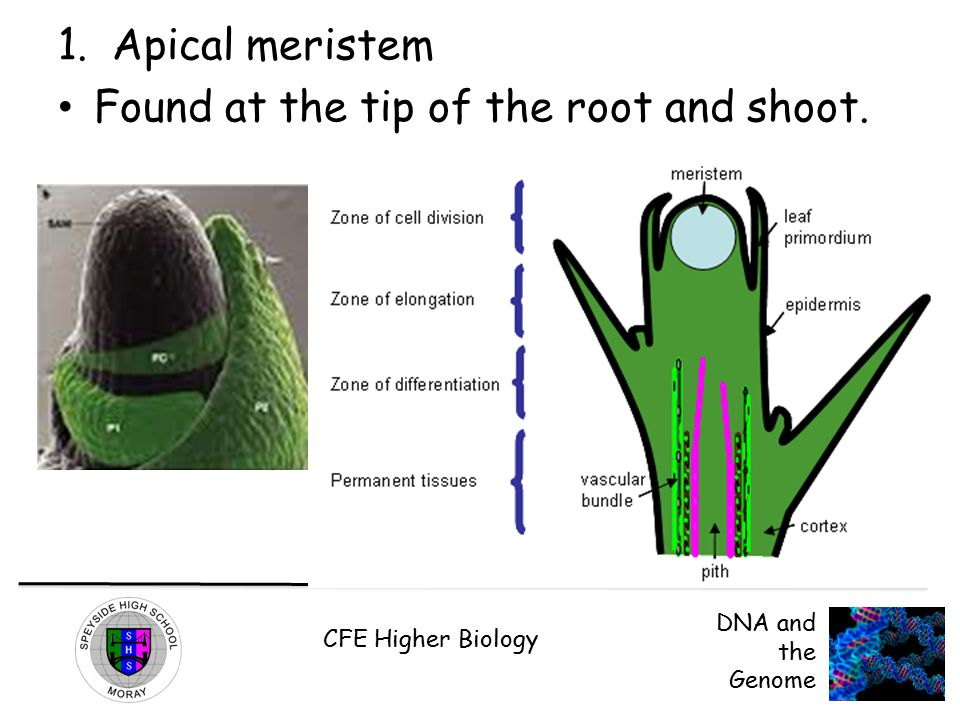 CFE Higher Biology DNA and the Genome 1.Apical meristem Found at the tip of the root and shoot.