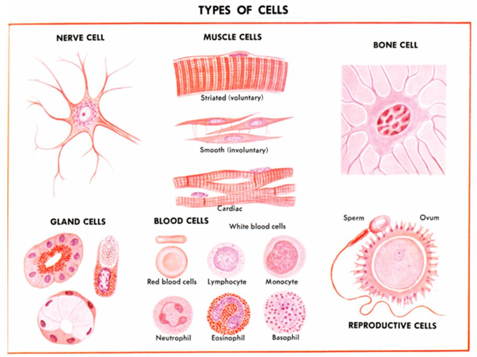 CFE Higher Biology DNA and the Genome Selective gene expression Every cell in your body has all the genes necessary for constructing the whole organism.
