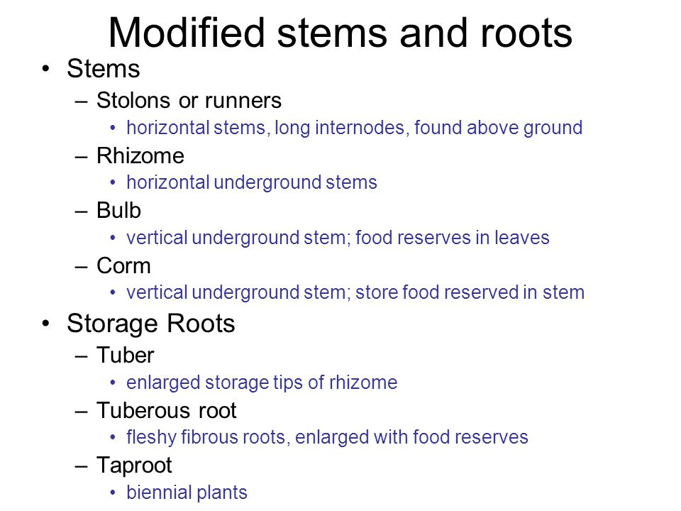 Modified stems and roots Stems –Stolons or runners horizontal stems, long internodes, found above ground –Rhizome horizontal underground stems –Bulb vertical underground stem; food reserves in leaves –Corm vertical underground stem; store food reserved in stem Storage Roots –Tuber enlarged storage tips of rhizome –Tuberous root fleshy fibrous roots, enlarged with food reserves –Taproot biennial plants