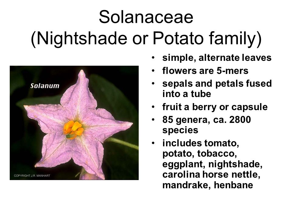Solanaceae (Nightshade or Potato family) simple, alternate leaves flowers are 5-mers sepals and petals fused into a tube fruit a berry or capsule 85 genera, ca.