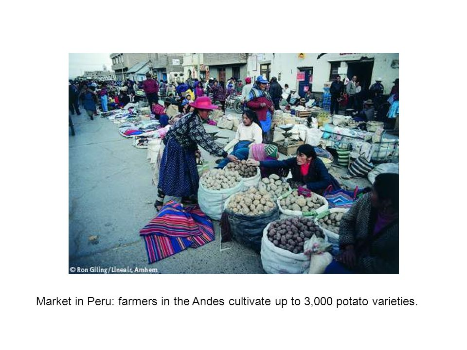 Market in Peru: farmers in the Andes cultivate up to 3,000 potato varieties.