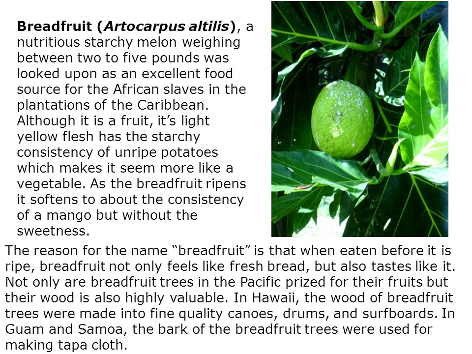Breadfruit (Artocarpus altilis), a nutritious starchy melon weighing between two to five pounds was looked upon as an excellent food source for the African slaves in the plantations of the Caribbean.
