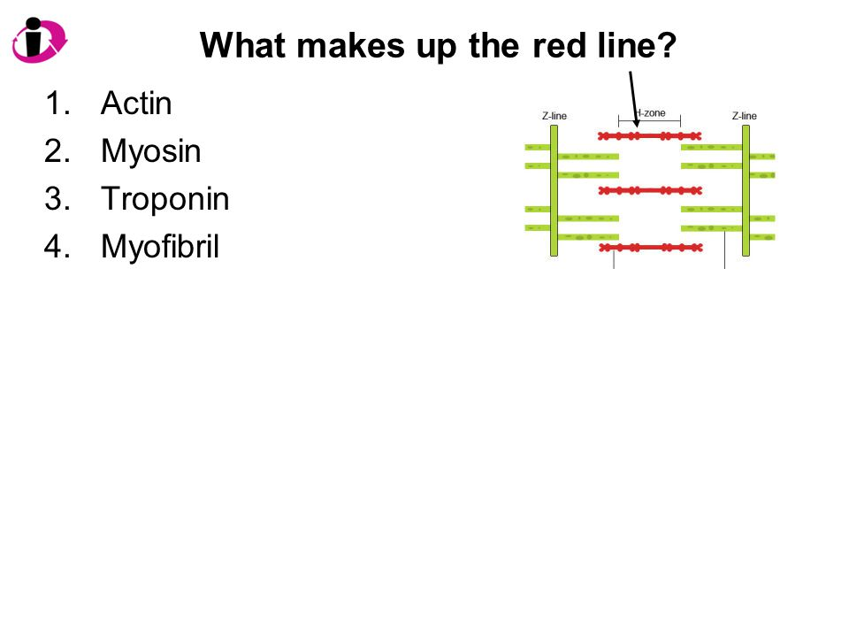 What makes up the red line? 1.Actin 2.Myosin 3.Troponin 4.Myofibril