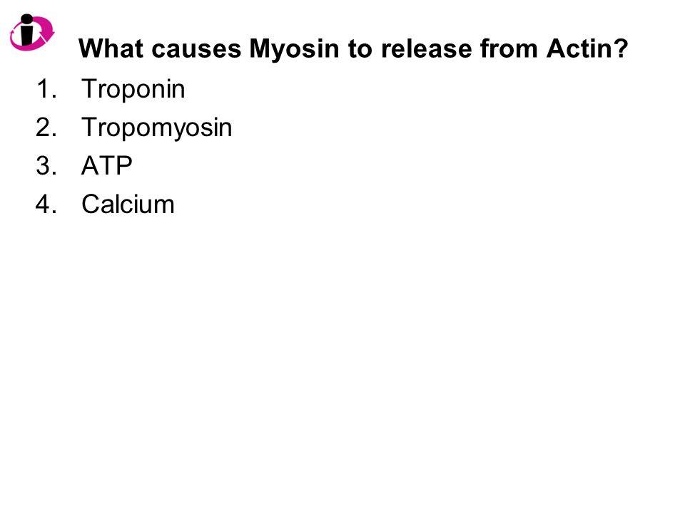 What causes Myosin to release from Actin? 1.Troponin 2.Tropomyosin 3.ATP 4.Calcium