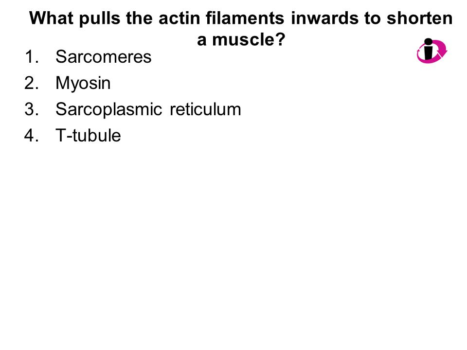 What pulls the actin filaments inwards to shorten a muscle? 1.Sarcomeres 2.Myosin 3.Sarcoplasmic reticulum 4.T-tubule