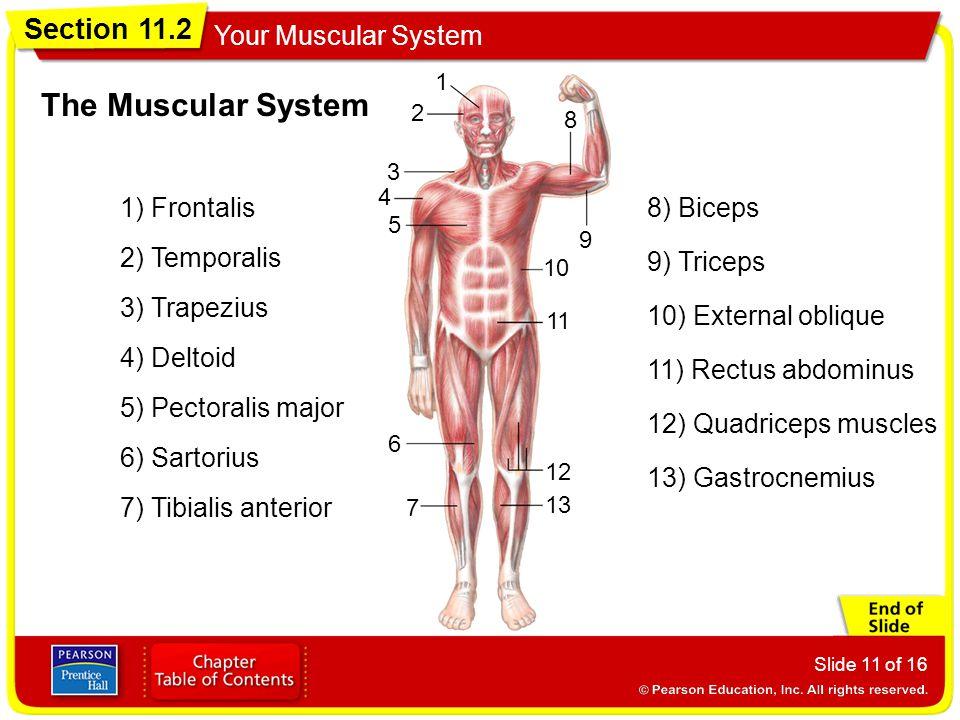 Section 11.2 Your Muscular System Slide 11 of 16 1 2 3 4 5 6 7 8 9 10 11 12 13 The Muscular System 1) Frontalis 2) Temporalis 3) Trapezius 4) Deltoid 5) Pectoralis major 6) Sartorius 7) Tibialis anterior 8) Biceps 9) Triceps 10) External oblique 11) Rectus abdominus 12) Quadriceps muscles 13) Gastrocnemius