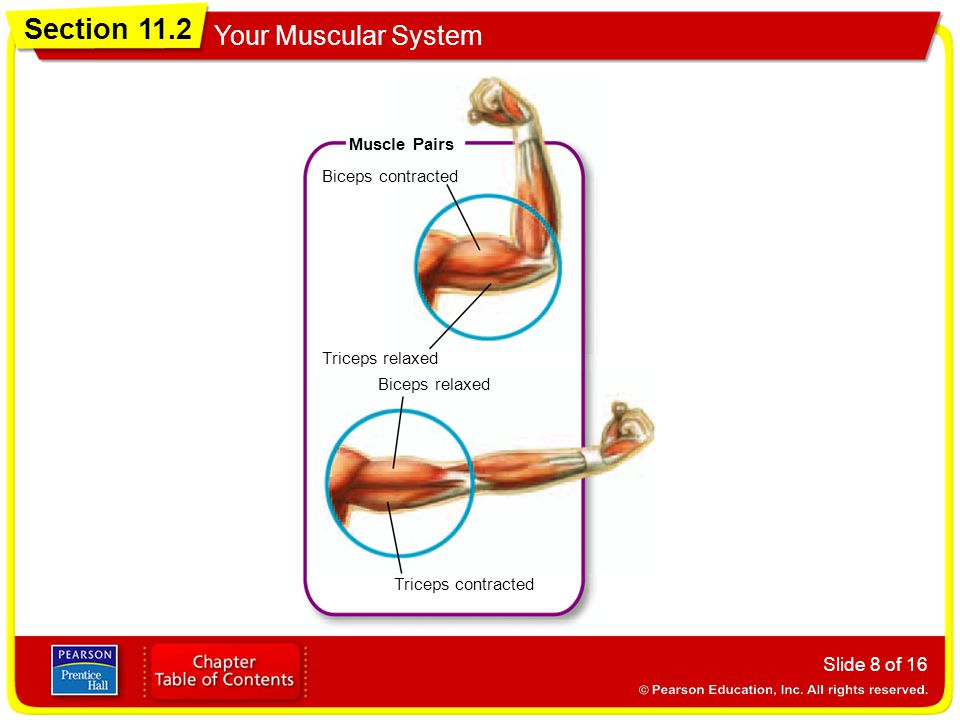 Section 11.2 Your Muscular System Slide 8 of 16 Muscle Pairs Biceps contracted Biceps relaxed Triceps relaxed Triceps contracted