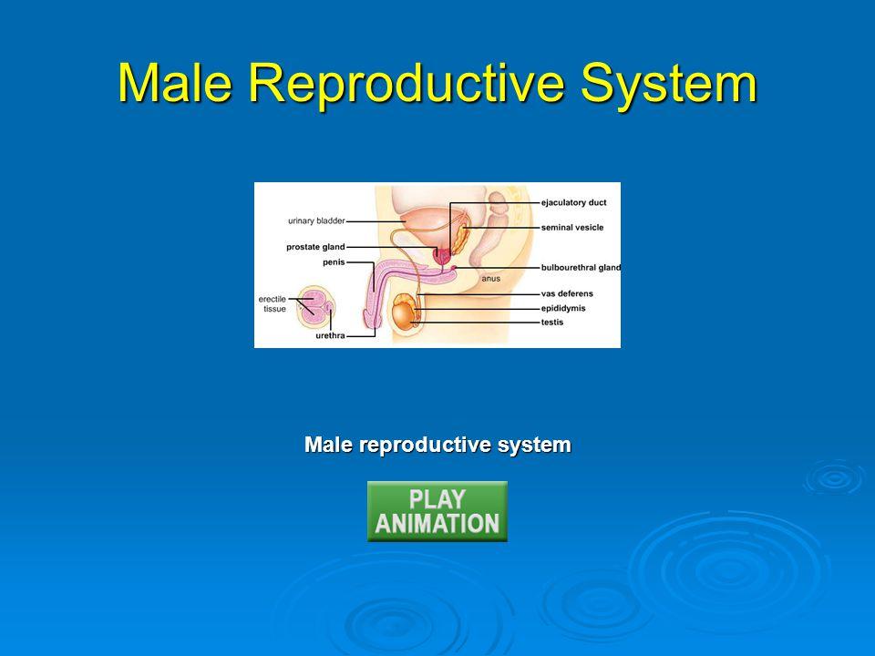 Male reproductive system Male Reproductive System