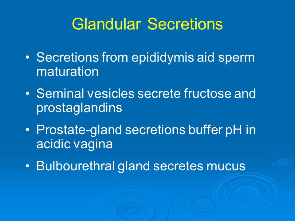 Glandular Secretions Secretions from epididymis aid sperm maturation Seminal vesicles secrete fructose and prostaglandins Prostate-gland secretions bu