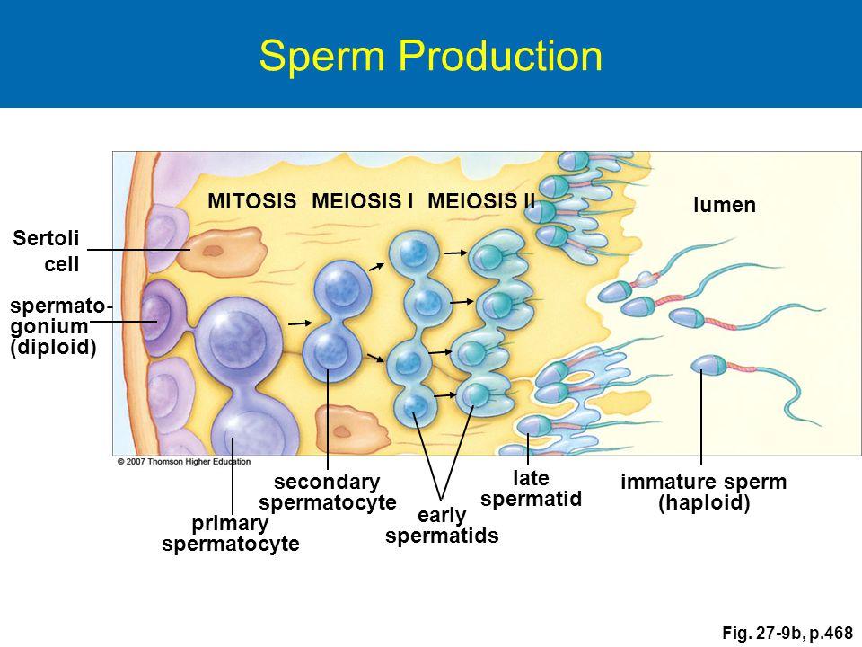 Sertoli cell spermato- gonium (diploid) primary spermatocyte MITOSISMEIOSIS IMEIOSIS II immature sperm (haploid) late spermatid secondary spermatocyte