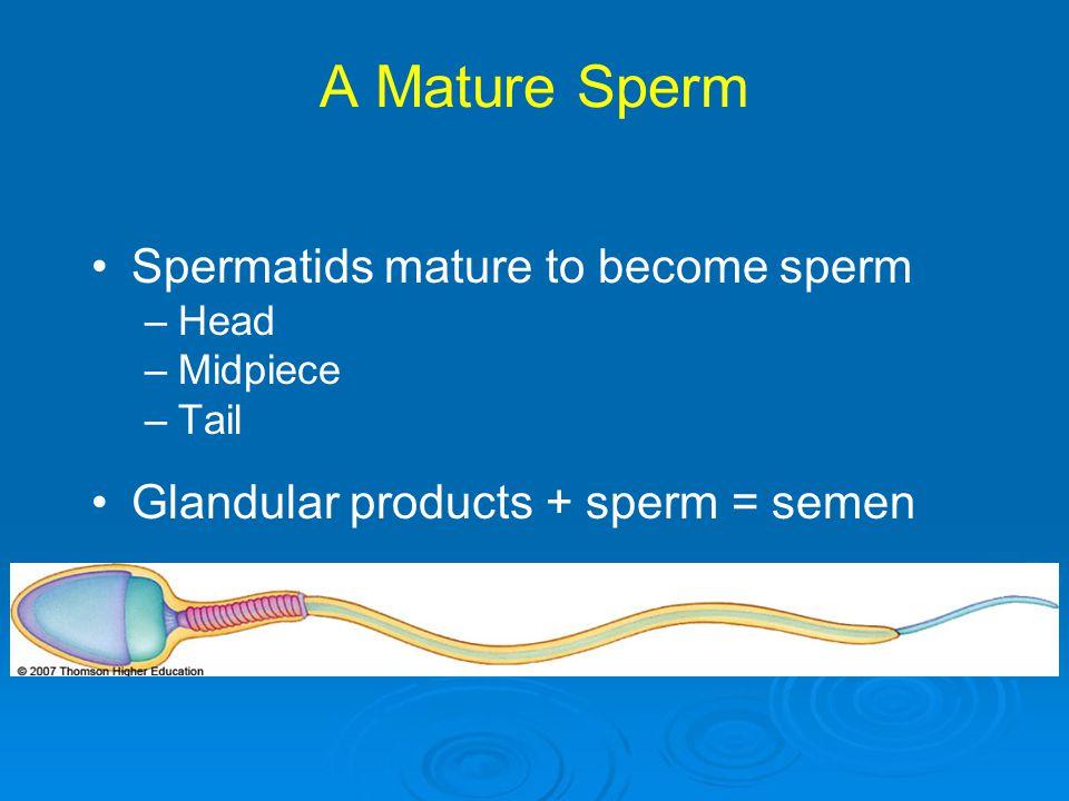 A Mature Sperm Spermatids mature to become sperm –Head –Midpiece –Tail Glandular products + sperm = semen