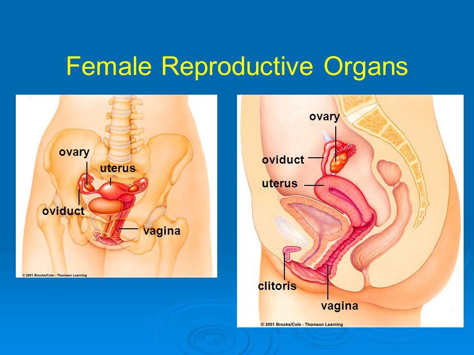 Female Reproductive Organs vagina uterus oviduct ovary vagina clitoris oviduct ovary uterus