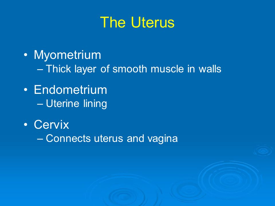 The Uterus Myometrium –Thick layer of smooth muscle in walls Endometrium –Uterine lining Cervix –Connects uterus and vagina