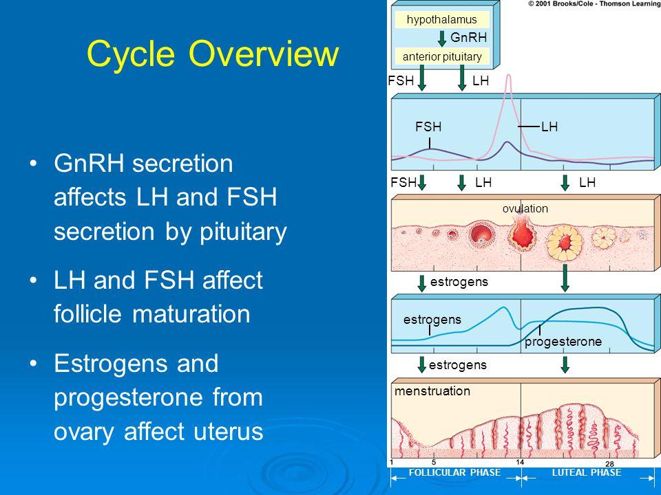 Cycle Overview hypothalamus anterior pituitary FSHLH FSHLH estrogens FOLLICULAR PHASELUTEAL PHASE menstruation ovulation GnRH FSHLH estrogens progeste