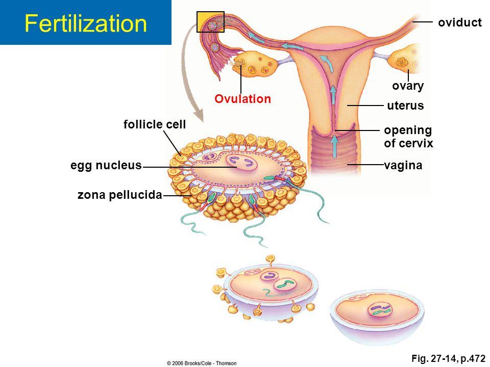 zona pellucida follicle cell egg nucleus Ovulation oviduct ovary uterus opening of cervix vagina Fig. 27-14, p.472 Fertilization
