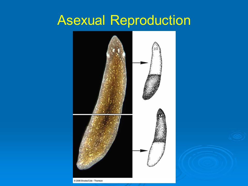 Cost of Sexual Reproduction Specialized cells and structures must be formed Special courtship and parental behaviors can be costly Nurturing developing offspring, either in egg or body, requires resources (usually from mother)