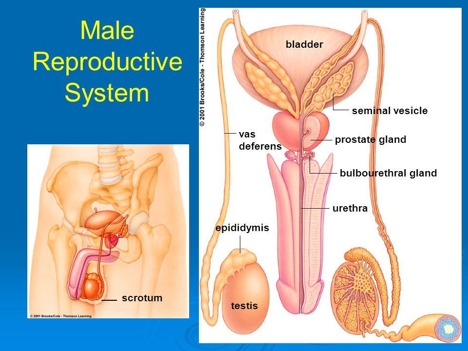 Male Reproductive System vas deferens epididymis testis penis seminal vesicle prostate gland bulbourethral gland urethra bladder scrotum