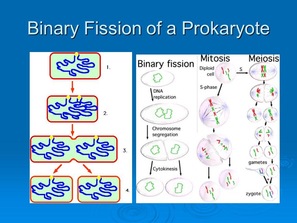 Binary Fission of a Prokaryote