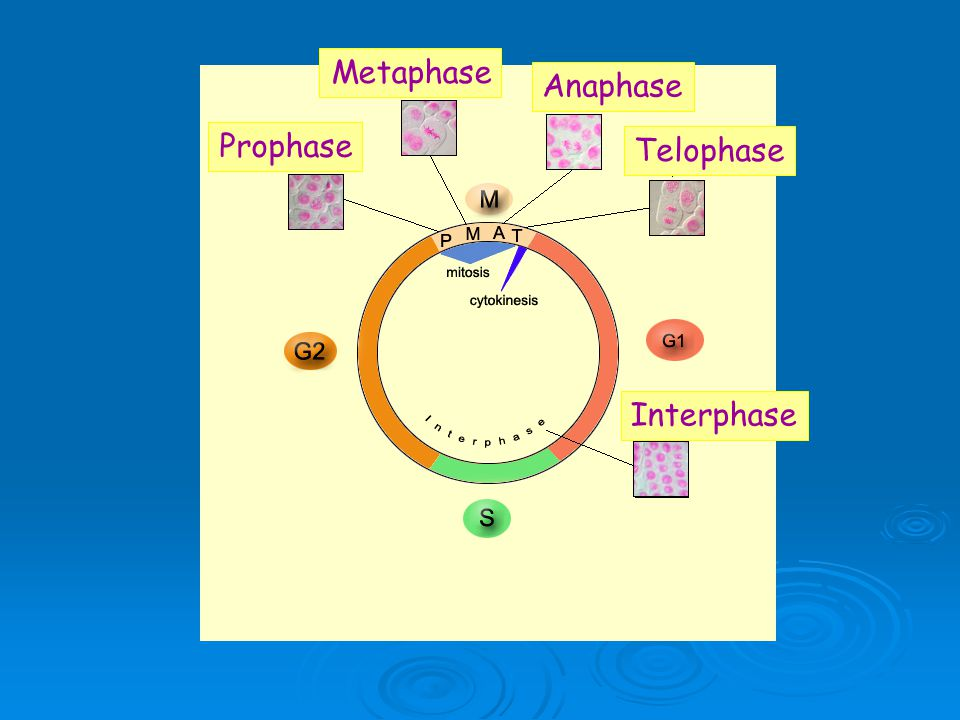 Controls On The Cell Cycle